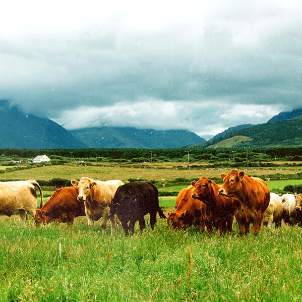 irish beef herd